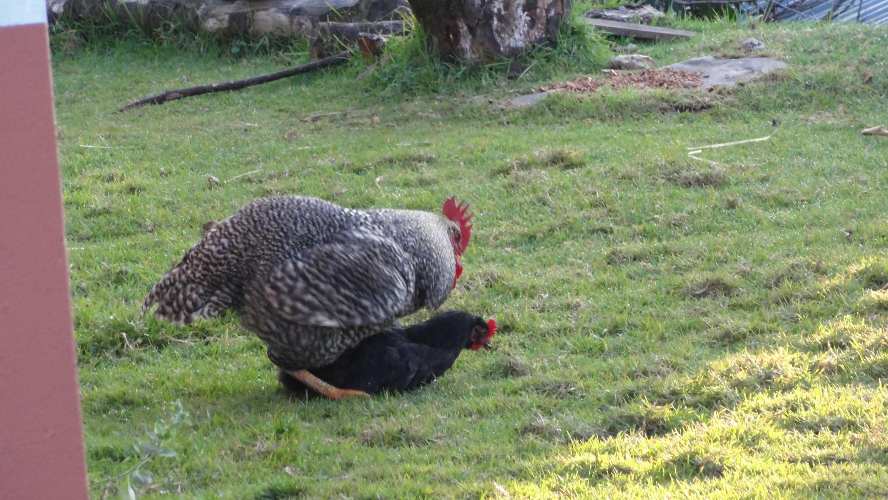 Glückliche Hühner sehen