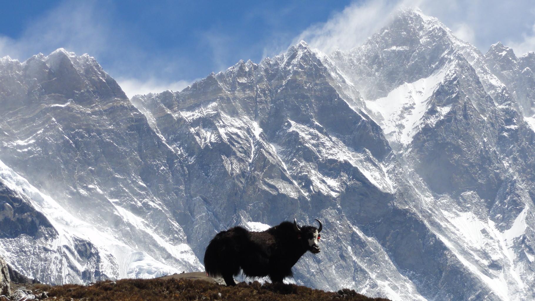 Yak vor Bergkulisse im Himalaya