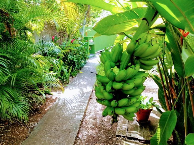 Bananes jardin Couleurs Antilles Guadeloupe