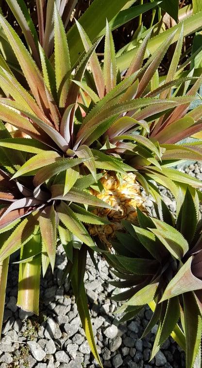 Fruits juin jardin Couleurs Antilles