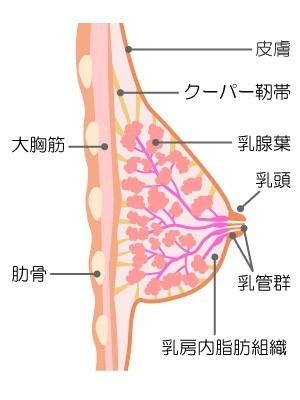 バスト構造図