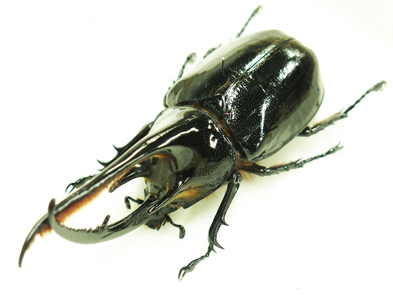 ネプシューンオオカブトムシ