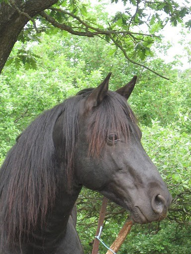 dusty mountain ranch rocky mountain horse montpellier france etalon chaval hongre jument poulain pouliche chevaux noir chocolat taffy à vendre vente vends prix tarif tolt gait dusty's midnight blu