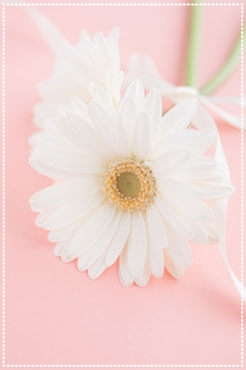 white African daisy with pink color