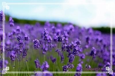 lavender-blog-