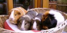 Leihmeerschweinchen-münchen