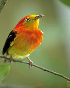 Uirapuru, ist ein sagenumwobenen Vogel aus dem Indianer-Gebiet des Amazonas.