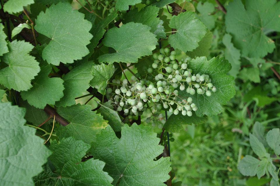 Trotz Pflanzenschutz wurden einige Trauben von Mehltaupilzen befallen. Dieser Trauben wird bei der Ertragsregulierung im August entfernt. (Foto: 17 Juli 2019)