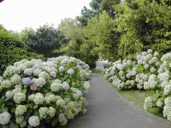 Le parc fleuri d'hortensias