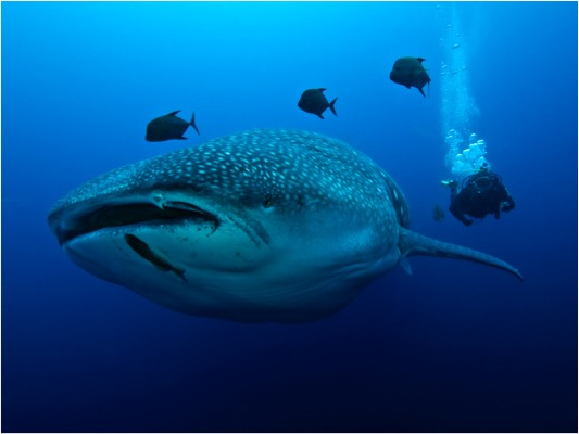 Galapagos Shark Diving - Whale Shark Galapagos Islands and Diver