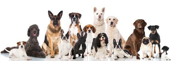 Es gibt viele unterschiedliche Hunderassen.