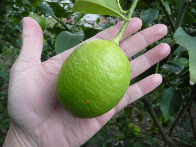 青レモン(農薬はつかいません)はこんなに大きくなります