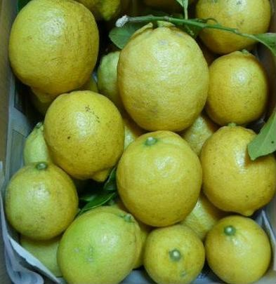 樹上完熟レモン、枝葉つき