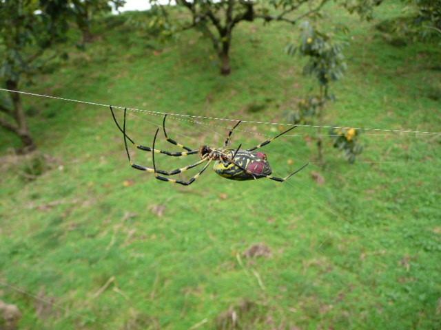 クモは畑の害虫をつかまえてくれます