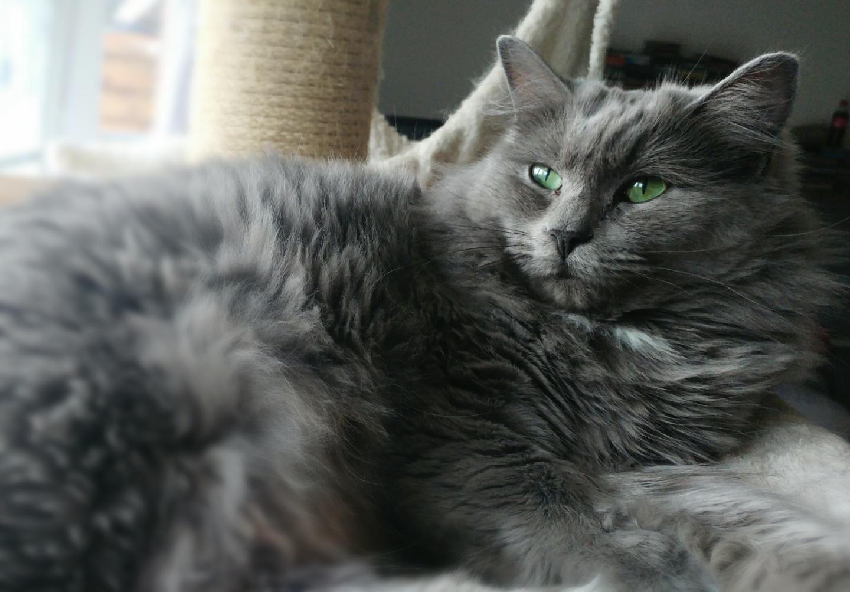 Queeny (Ragdoll)