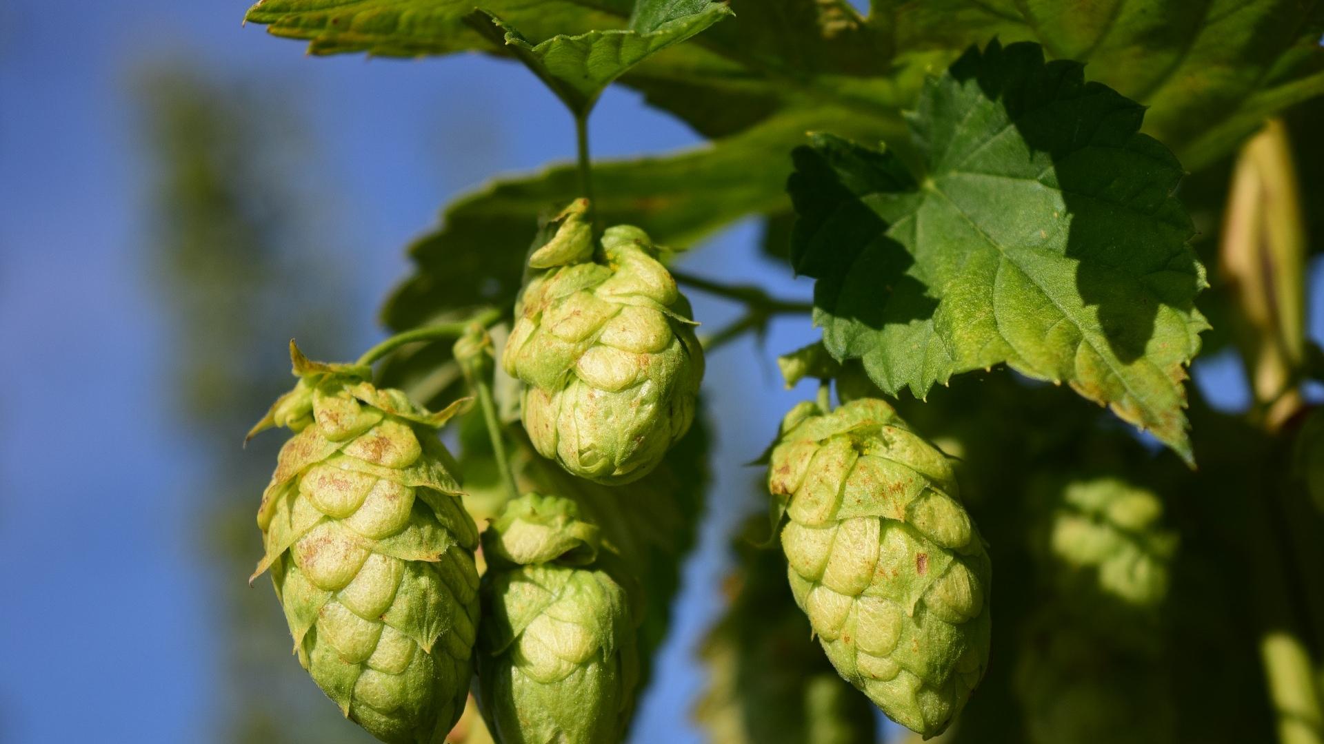 Hopfen, Malz, Wasser und ein guter Braumeister ergeben ein gutes Bier.