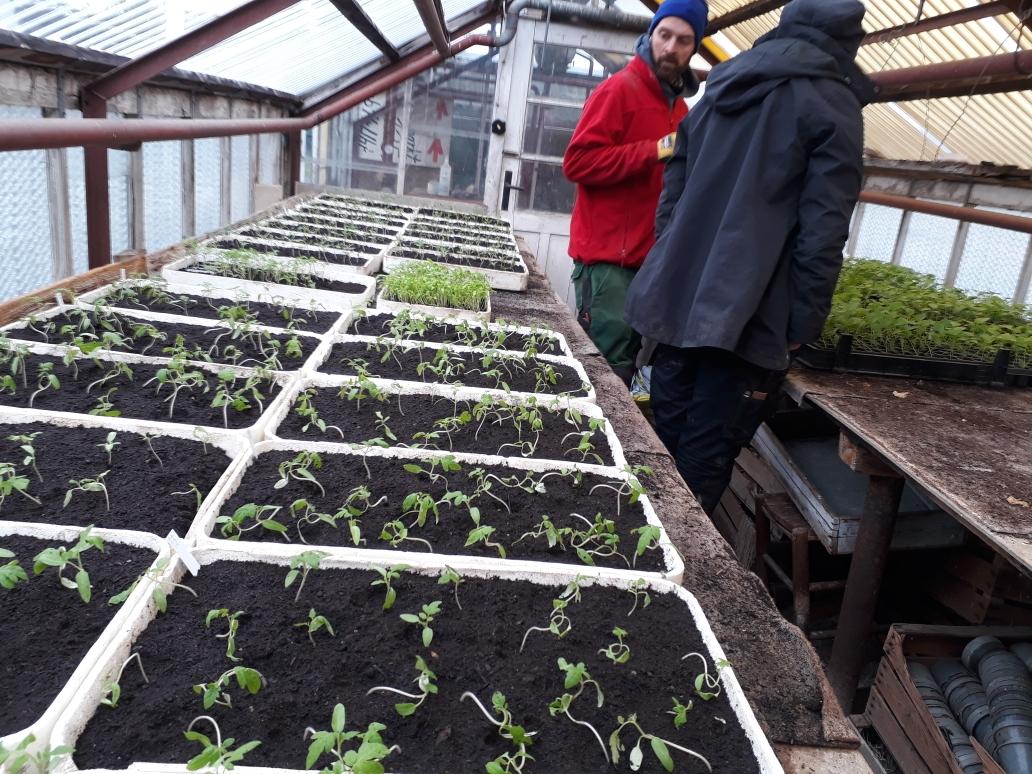 Die pikierten Tomaten - hier dürfen sie bis zur Pflanzung im Gewächshaus hranwachsen