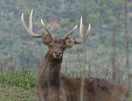 le cerf rusa, l'espèce calédonienne qui m'a bien fait courir !
