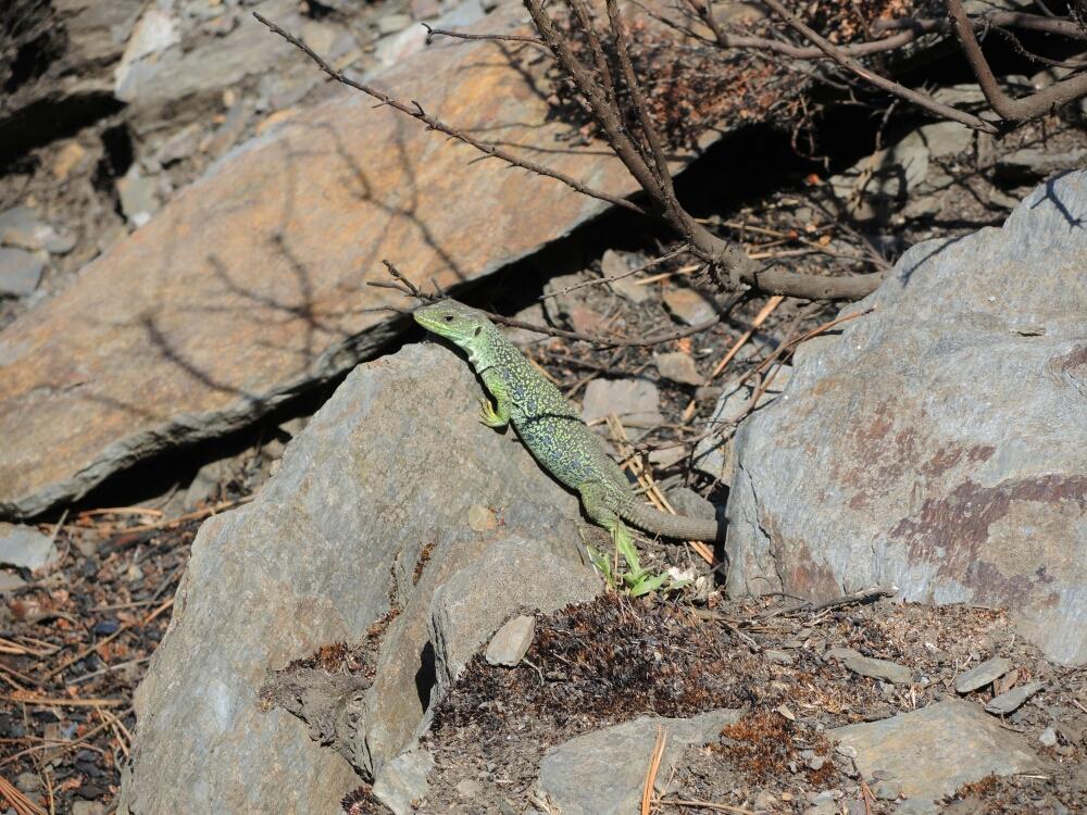 Schöne Salamander posiert vor ihr Zuhause