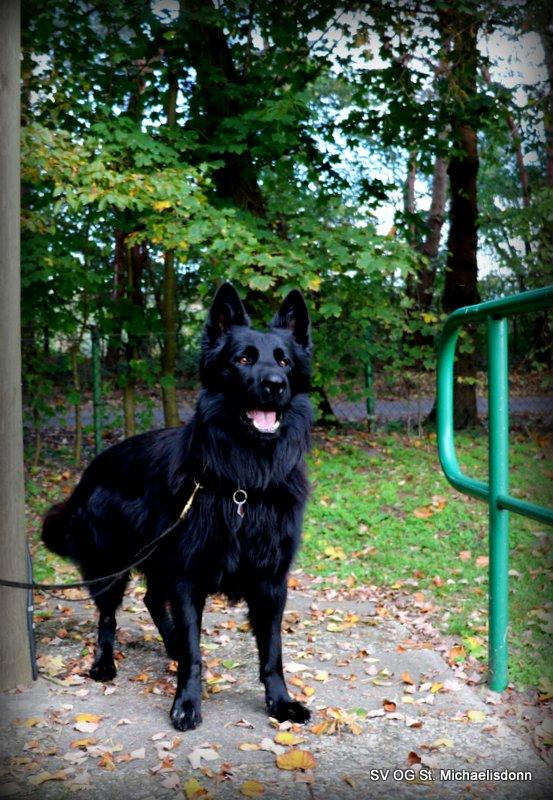 Quintus (Deutscher Schäferhund) Hundeführerin Siegrid S.