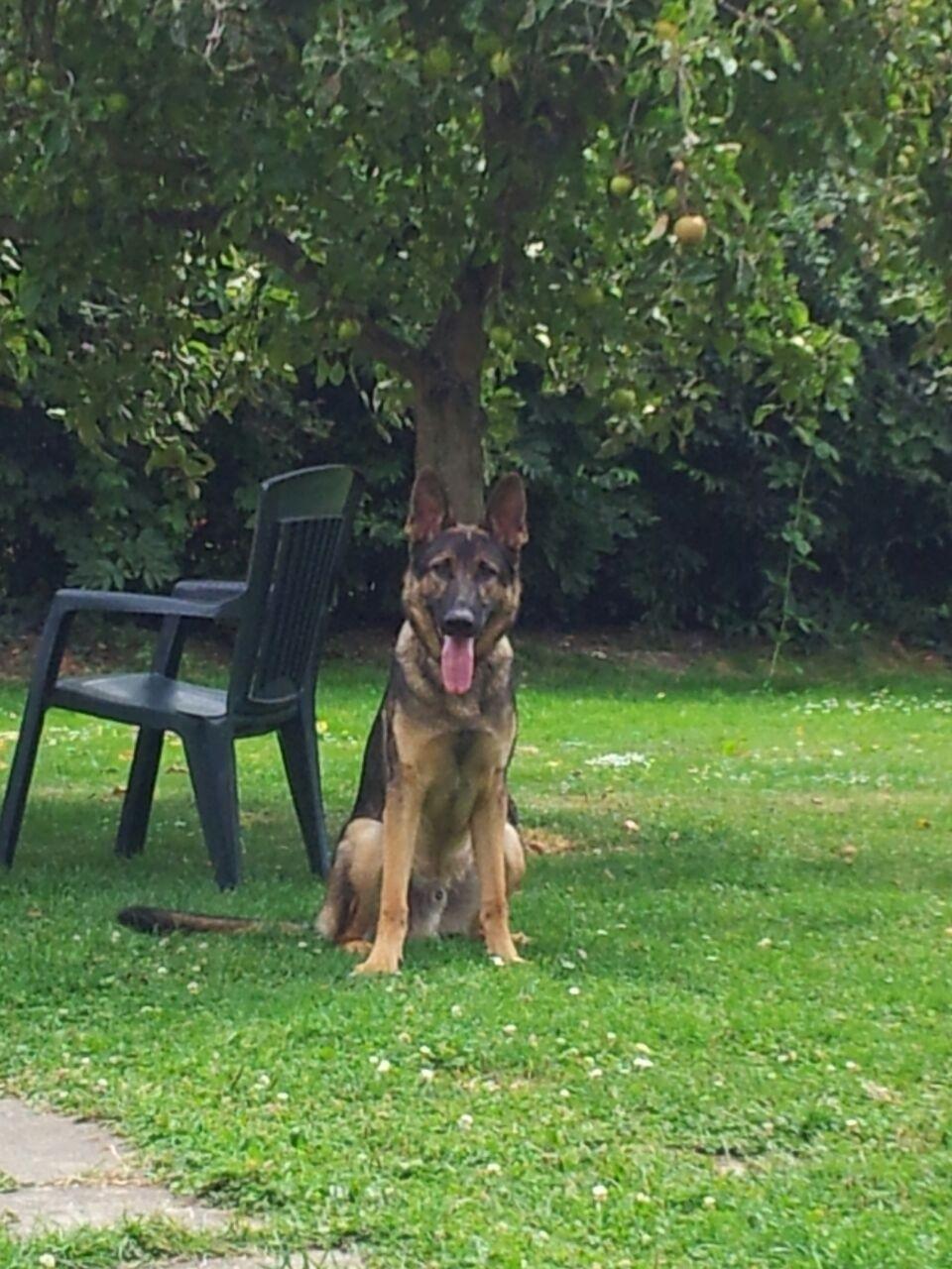 Limbus (Deutscher Schäferhund) Hundeführerin Juia M.