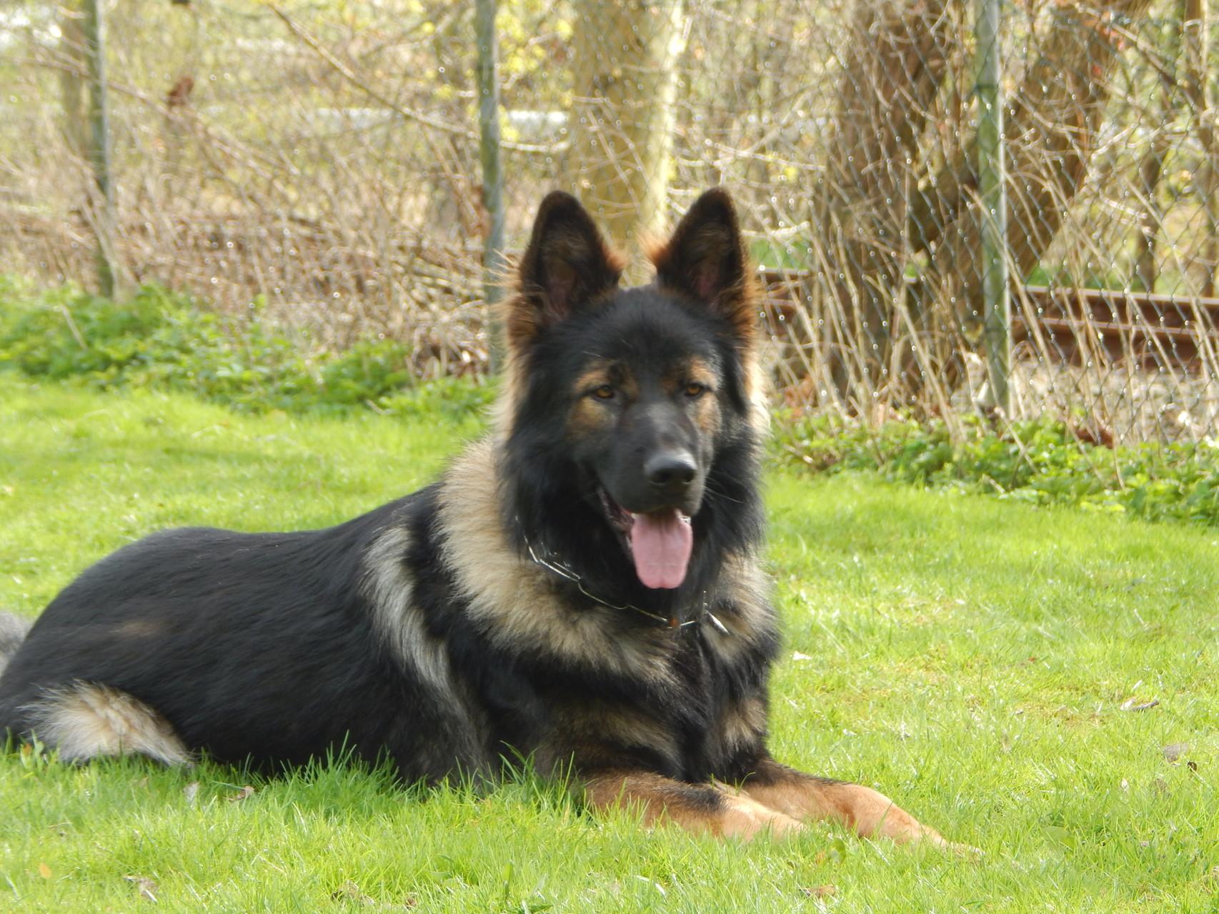 Pit (Deutscher Schäferhund) Hundeführer Sönke Meier