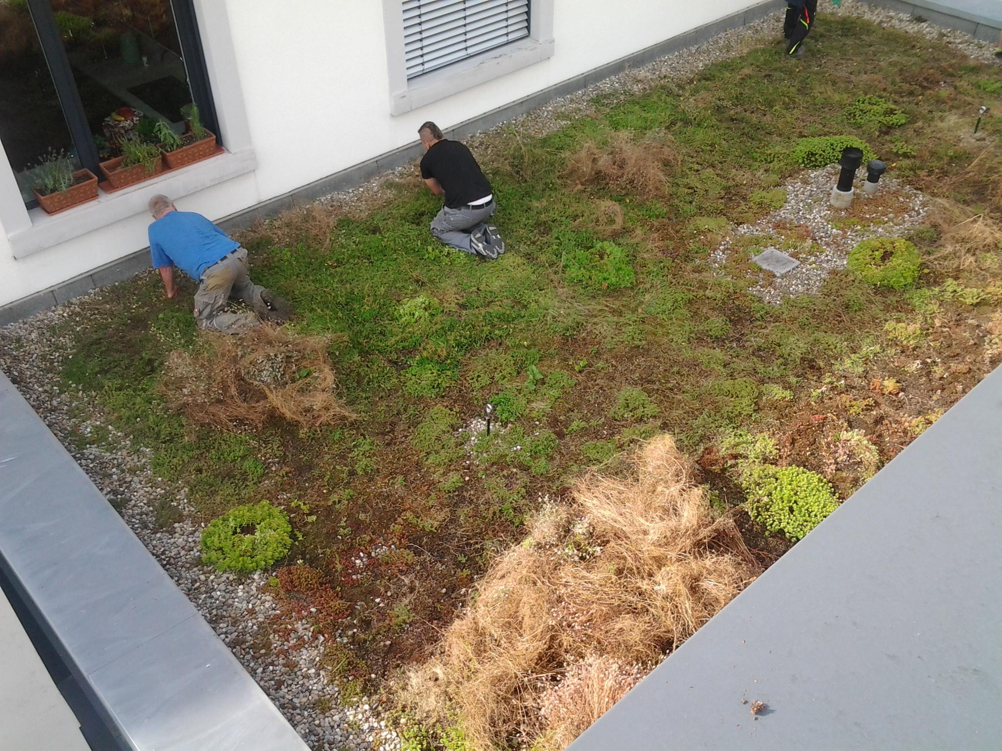 Pflege einer Dachbegrünung  in Niefern