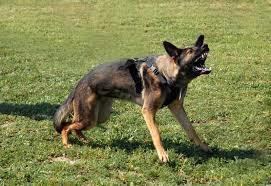 posture-attaque-chien