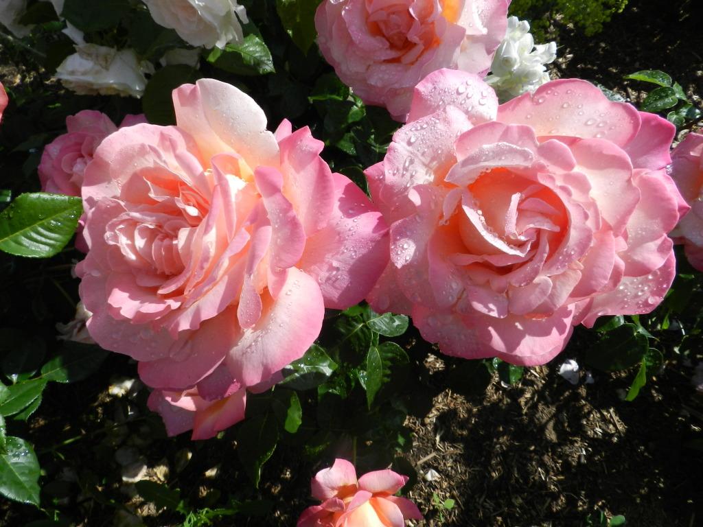 Begeisterung Rosen