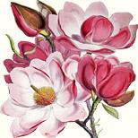 Magnolia campbellii – nach Sir Joseph Dalton Hooker (Botaniker, 1817-1911). Lithographie von Walter Hood Fitch (Botanischer Illustrator, 1817-1892)