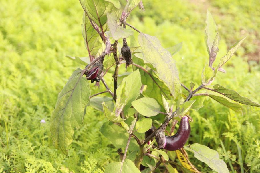 aubergines naines