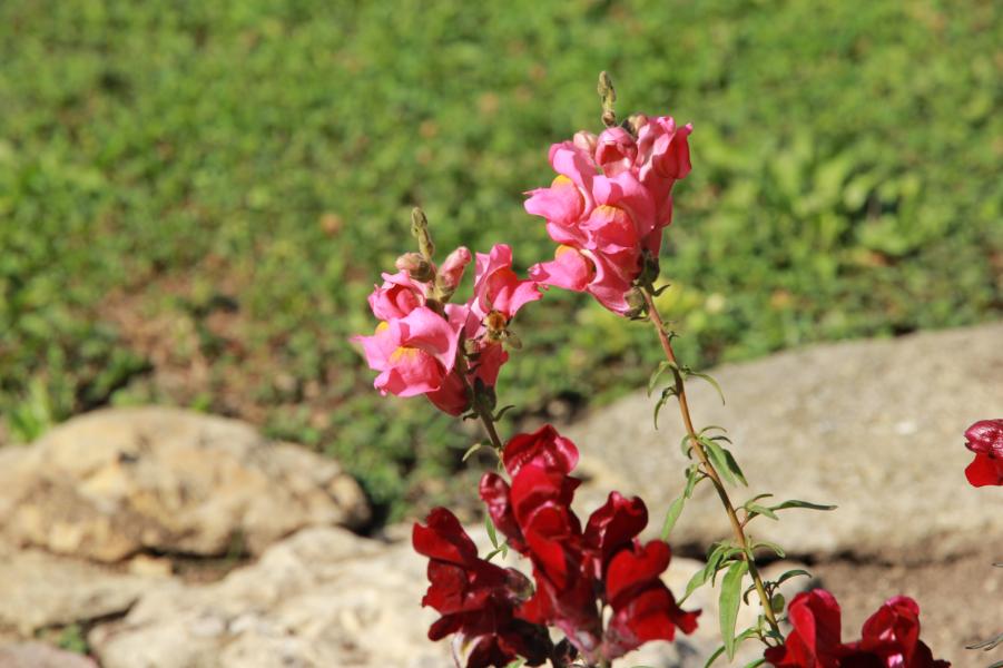 fleurs de muflier, comestible