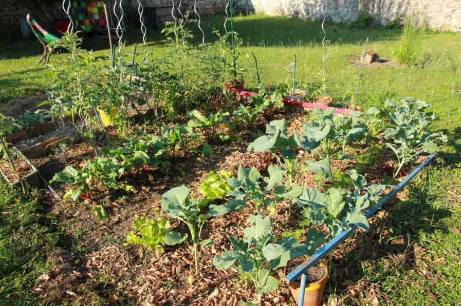 brocolis violets, carottes, salades, betteraves, tomates : ça pousse !!