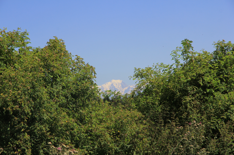 au détour d'un bosquet : le Mont blanc