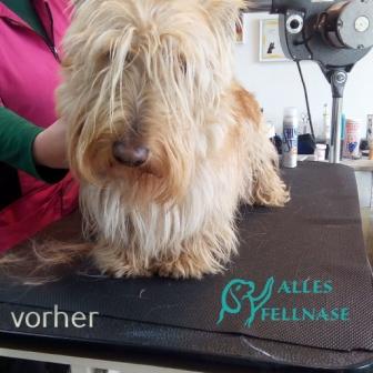 Dieser Terrier wurde ein halbes Jahr nicht getrimmt 😮. Er wurde von mir bei einem Workshop gemacht.😊