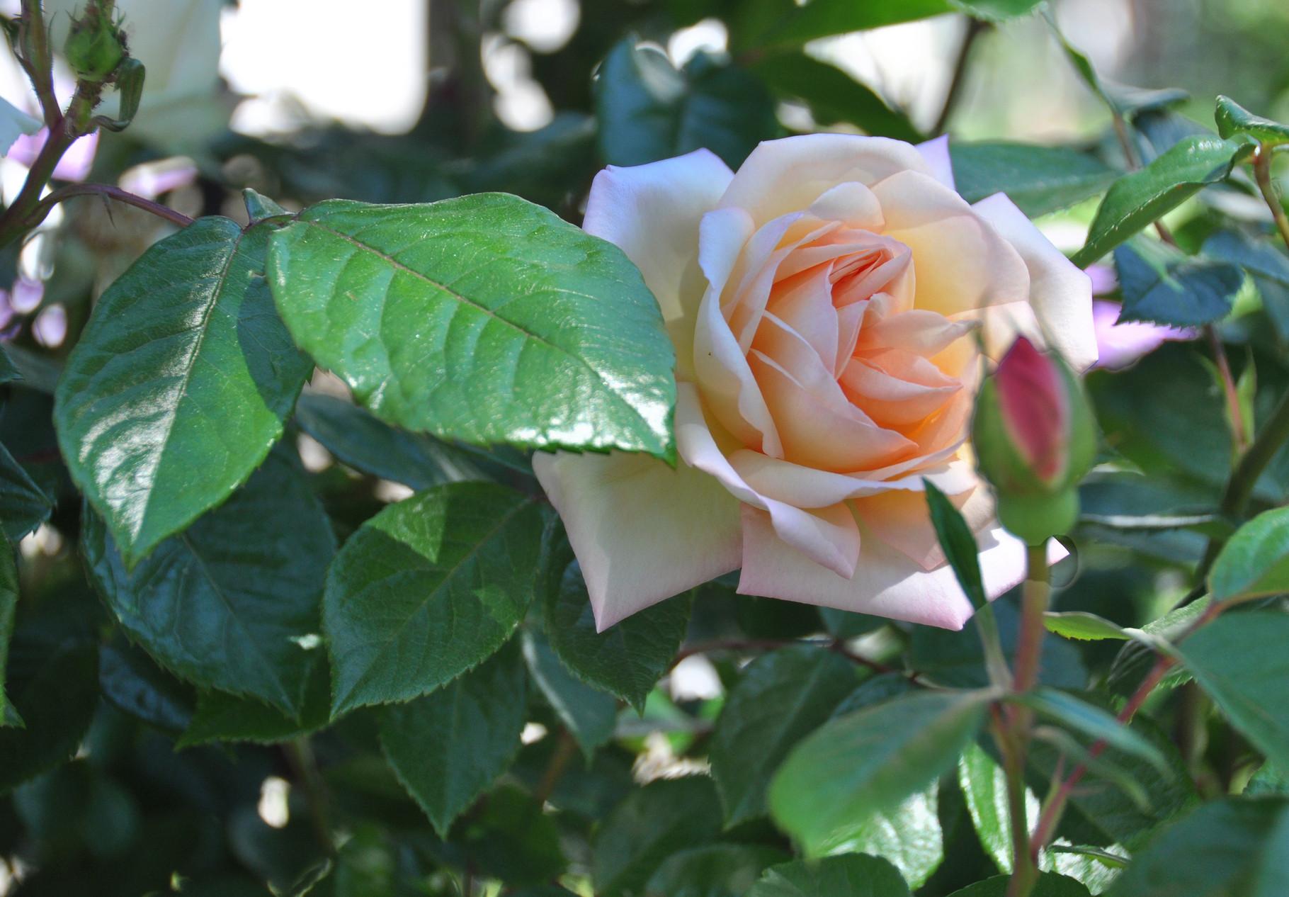 Rosen in Nachbars Garten I