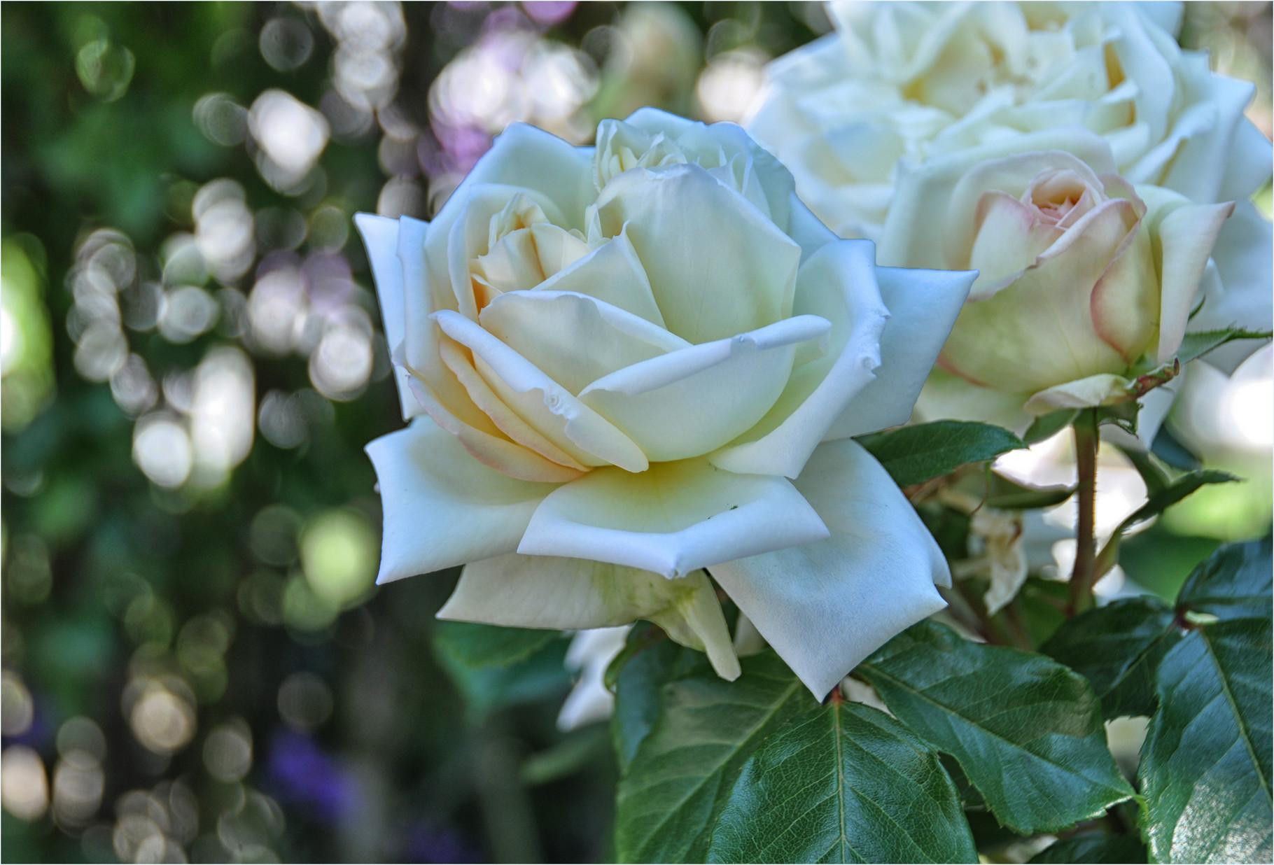Rosen in Nachbars Garten II