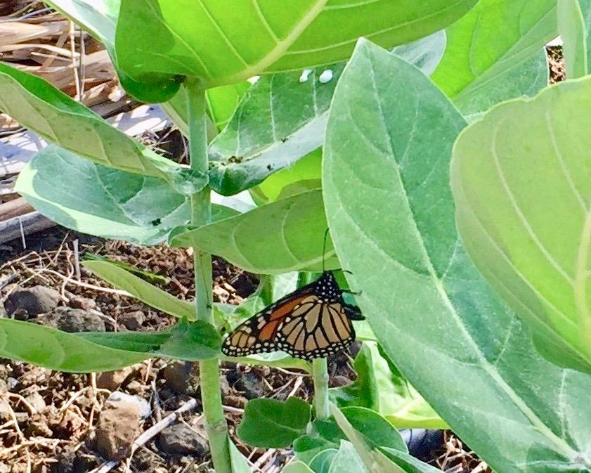 Welcoming Monarch Butterflies to the Garden at Pulelehua