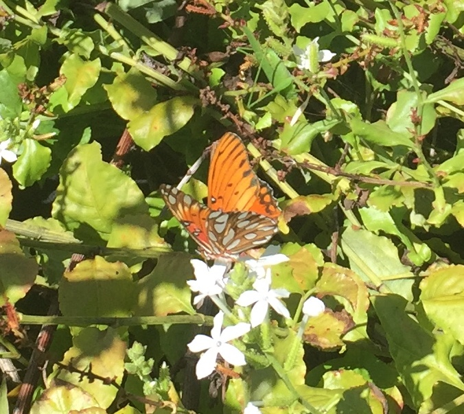 Many people confuse this non-native Passion Vine Butterfly, sipping nectar from a native 'ilie'e, with the Kamehameha Butterfly. Identification takes practice! (Photo by Maile Melrose)
