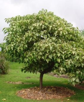 The Kukui Tree in Decline