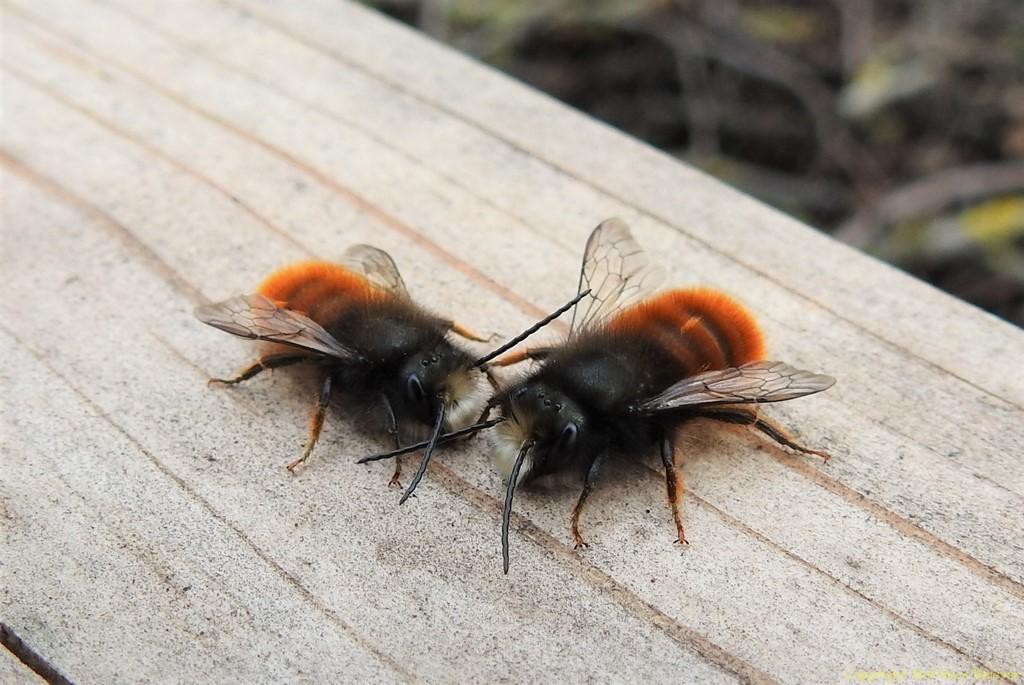 Gehörnte Mauerbiene Männerrunde (Osmia cornuta)