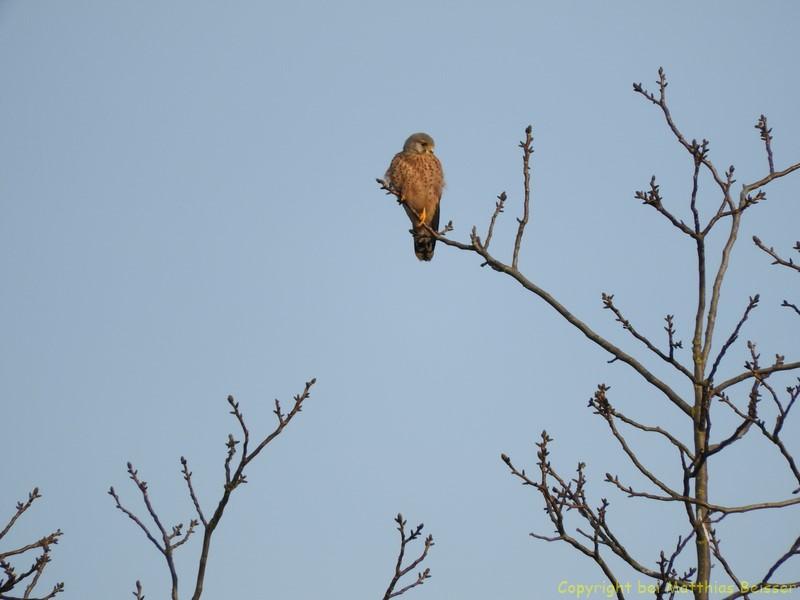 Hier fehlt mir noch der Name , ein Falke ist es auf jeden Fall.