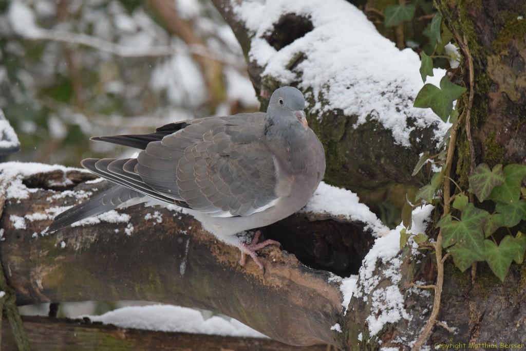 Ringeltauben sind sehr schöne Vögel aber unheimlich scheu und vorsichtig geworden seit die Sperberdame  sich hin und wieder mal ein Opfer  unter ihnen hohlt.