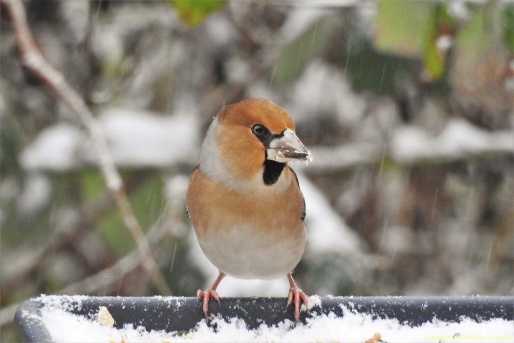 Der Kernbeißer macht sich diesen Winter rahr, erst mit dem Schnellfall kommt er aus seinen Verstecken.