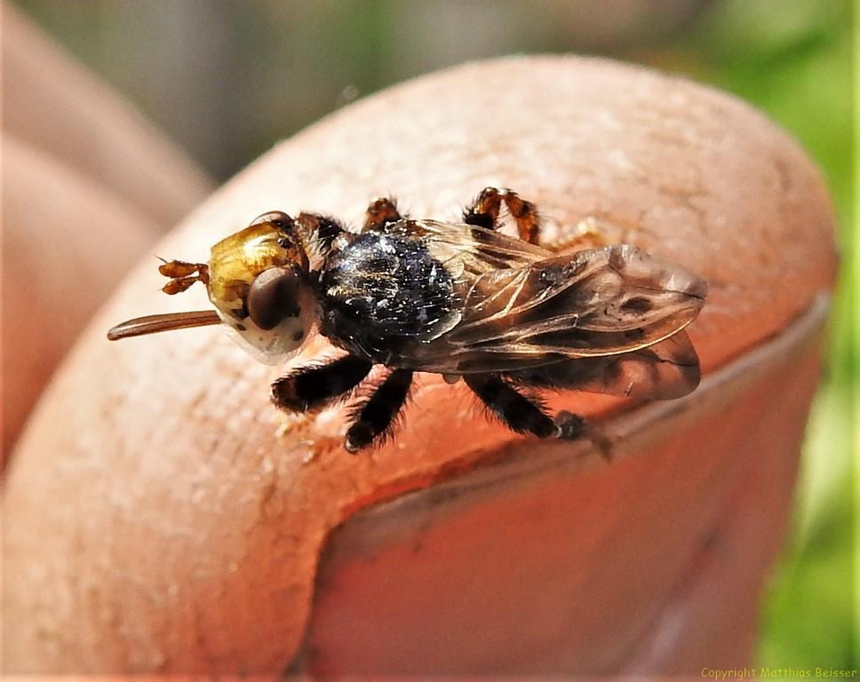 Breitstirnblasenkopffliege (Sicus ferrugineus)