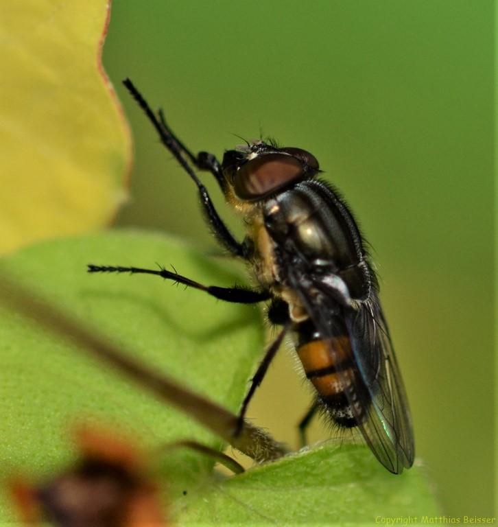 """Gemeine Stubenfliege (Musca domestica; lat. musca """"Fliege"""", domesticus """"häuslich"""")"""