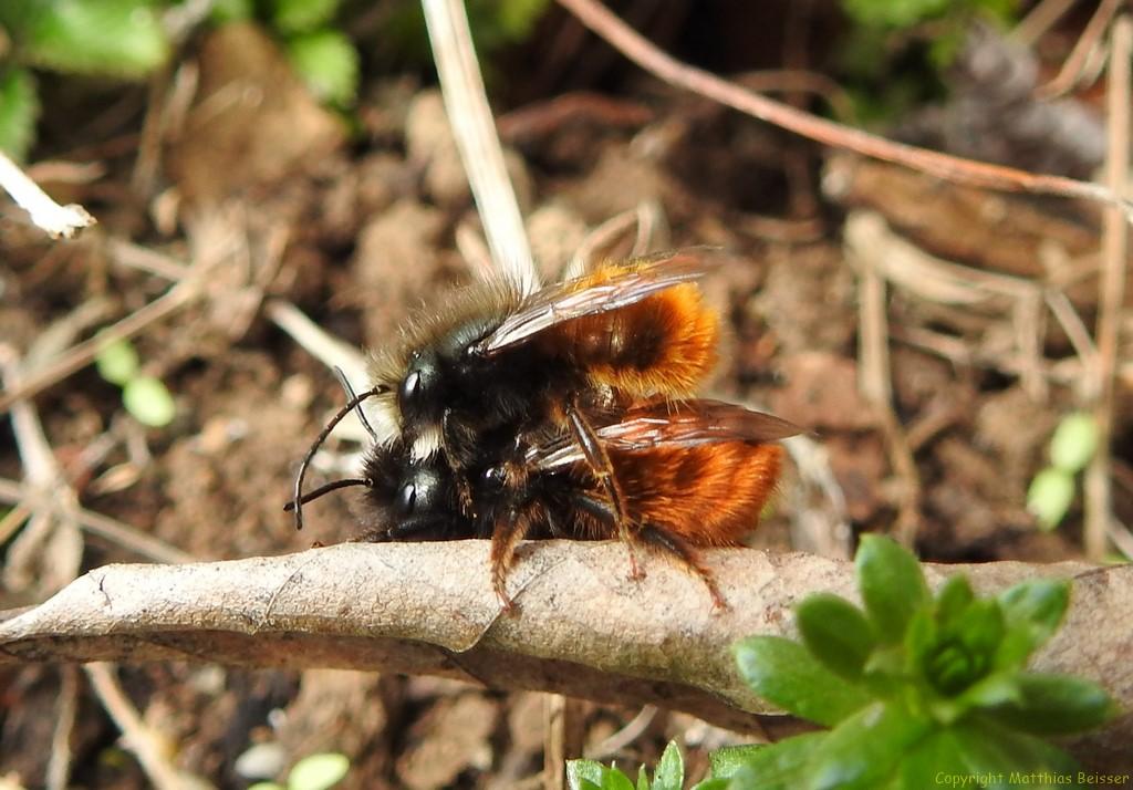 Gehörnte Mauerbiene Paar (Osmia cornuta)
