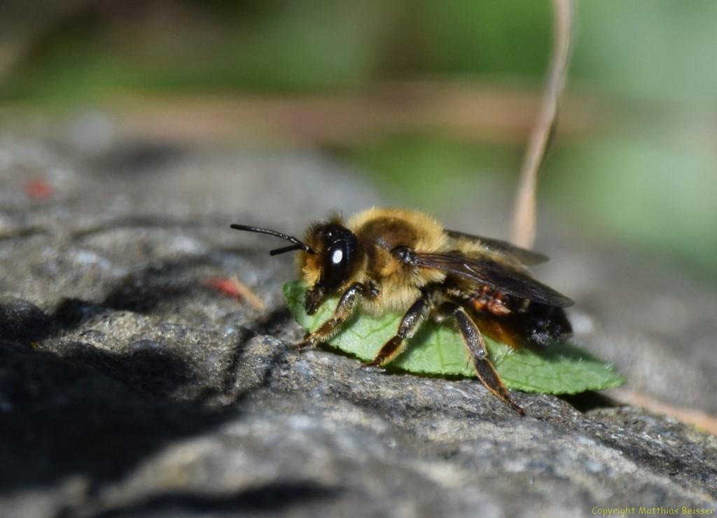 Blattschneiderbiene (Megachile versicolor)