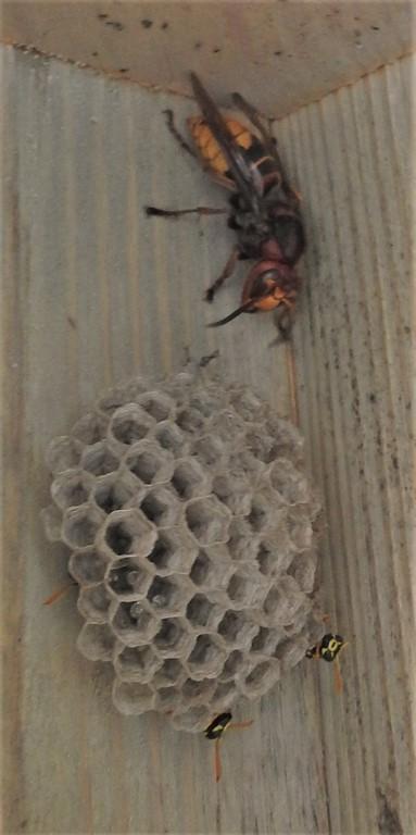 Aus einer Schauanlage wird eine Wohnanlage. Feldwespen (Polistes dominula) mit Hornissenkönigin (Vespa crabro) als Untermieterin.