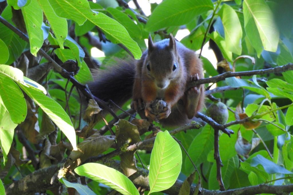 Langsam werden sie zu Dauergästen meine Eichhörnchen, bei der Menge an Walnüssen werden sie dieses Jahr nicht hungern.